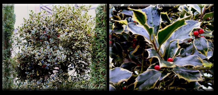 rozen gevlekt blad