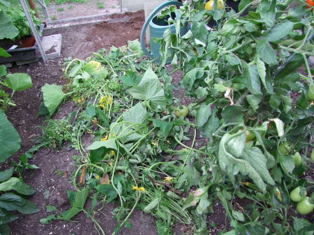 Na het wieden werden de tomaten gediefd en wat bijgeknipt en de rijpe
