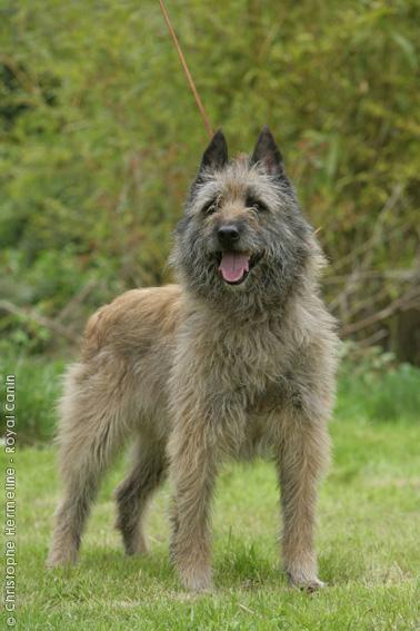Image Result For Bullmastiff Dog Training